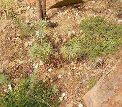 Euphorbia ceratocarpa - Wikipedia, la enciclopedia libre