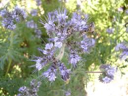 Lacy Phacelia, Phacelia tanacetifolia Benth.A Native Annual Forb for ...