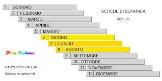 Dianthus ferrugineus [Garofano giallognolo] - Flora Italiana
