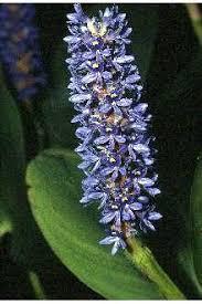 Plants Profile for Pontederia cordata (pickerelweed)