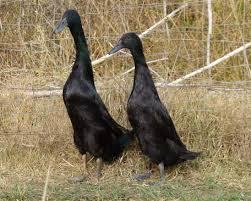 Black Runner Ducks | Metzer Farms