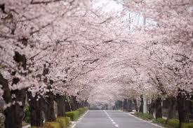「カナダ 桜 フリー画像」の画像検索結果
