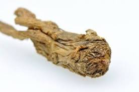 Image result for angelica root