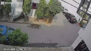 <b>Leopard</b> spotted near residences of district officials in Ghaziabad ...
