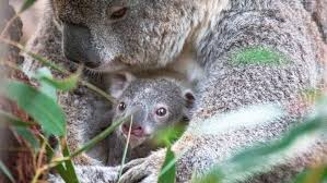 First <b>koala</b> born at National Zoo and Aquarium in Canberra officially ...