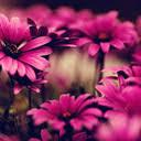 <b>Pink Flower</b> Wallpapers HD Best New Tab