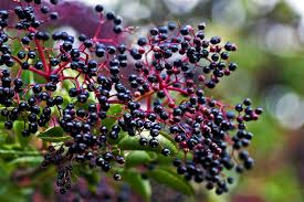 Image result for elderberry autumn