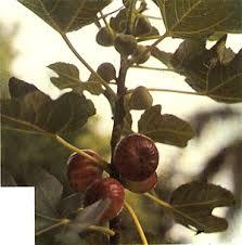 Ficus Fig ADRIATIC