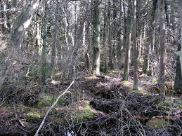 Image result for image of a cedar swamp
