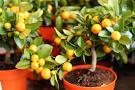 Вырастить апельсин в домашних условиях фото