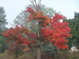 Acer saccharum - Michigan Flora