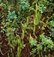 Lycopodiaceae - Wikipedia