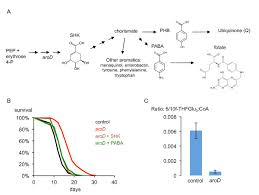 Decreased folate synthesis explained the lifespan increase caused     ResearchGate