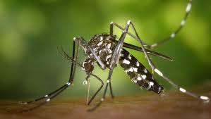 Вызывающий <b>тропические</b> лихорадки комар поселился в Париже ...