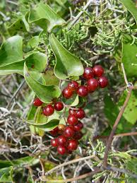 Smilax aspera - Wikipedia, la enciclopedia libre