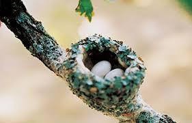 Image result for hummingbird nest