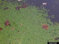 European waterstarwort: Callitriche stagnalis (Callitrichales ...