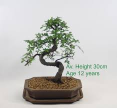 chinese elm bonsai tree indoor outdoor deciduous available online from all things bonsai sheffield yorkshire chinese elm bonsai tree