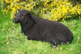 Image result for black sheep