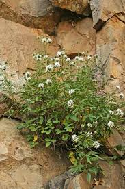 Bituminaria morisiana, flora di Sardegna