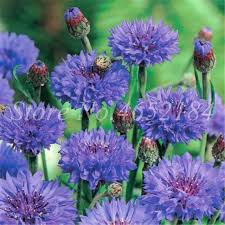 Online Shop <b>Big Promotion 100 Pcs</b>/ Bag Cornflower Centaurea ...