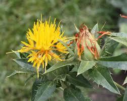 Carthamus tinctorius - Michigan Flora