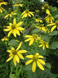 Rudbeckia laciniata - Wikipedia