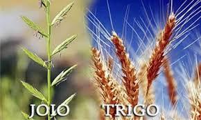 Resultado de imagem para joio e o trigo