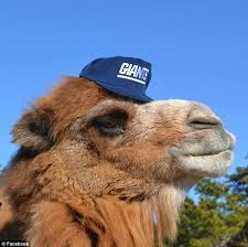 Image result for CAMEL  PHOTOS