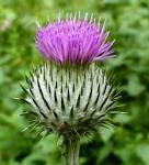 Images & Illustrations of cotton thistle