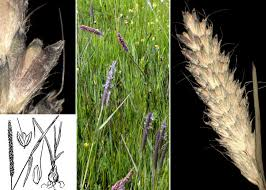 Alopecurus bulbosus Gouan subsp. bulbosus - Portale della Flora di ...