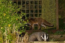 Image result for badger in garden