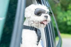 Image result for pics of a blind maltese dog