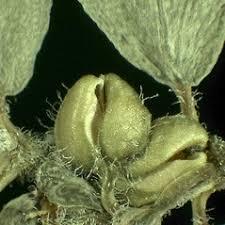 Euphorbia prostrata (prostrate sandmat): Go Botany