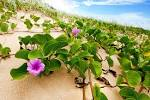 Images & Illustrations of beach morning glory