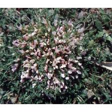 Trifolium uniflorum L.