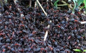 هل يبلغ مجموع وزن النمل في العالم مجموع وزن البشر؟