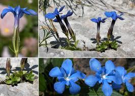 Gentiana orbicularis Schur - Portale sulla flora del Parco Naturale ...