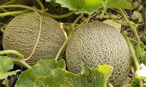 Αποτέλεσμα εικόνας για πεπόνι φυτο