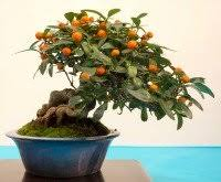 ready to buy a bonsai tree what to look for bought bonsai tree