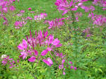 Images & Illustrations of cleome