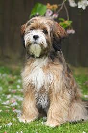 Havanese - <b>Dog</b> Breed Information, Facts and Personality   <b>Pets</b> ...