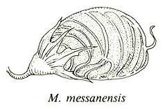 Fact sheet for Melilotus messanensis