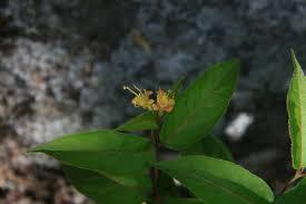 Diervilla lonicera - Michigan Flora