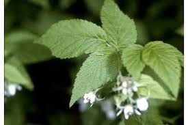 Plants Profile for Rubus idaeus (American red raspberry)