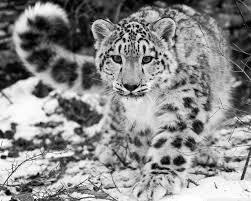Résultat de recherche d'images pour 'léopard des neiges fond d'écran'