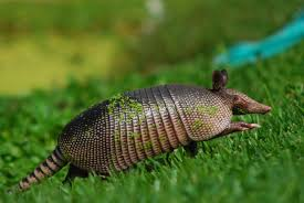 armadillos roll out treatments for leprosy understanding animal armadillos roll out treatments for leprosy