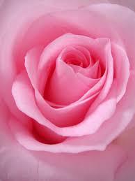 100+ <b>Pink Flower</b> Images   Download Free Pictures On Unsplash