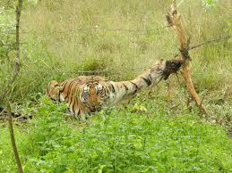 injured tiger saved by n village outdoorhub injured tiger saved by n village