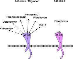 Integrins, Vascular <b>Remodeling</b>, and Hypertension   Hypertension